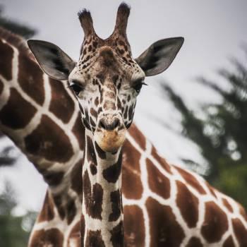 Giraffe Animal Mammal #375461