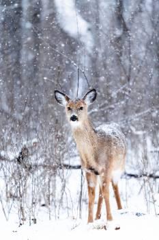 Brown Reindeer on Snowy Weather #37553