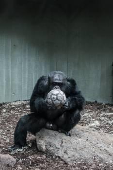 Ape Primate Chimpanzee #375601