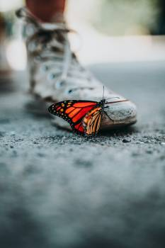 Insect Butterfly Arthropod Free Photo