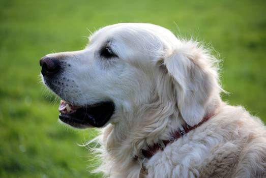 Golden Retriever Dog Wearing Red Collar #37571