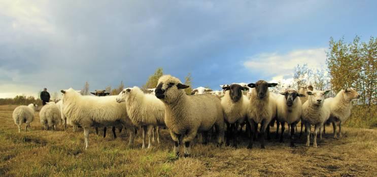 Flock of Sheep in Field Under Blue Sky #37578