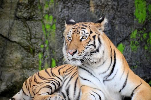 Tiger Cat Feline #376352
