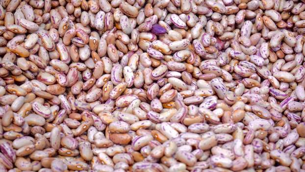 Beige and Purple Beans Free Photo