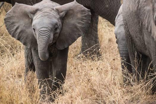 Gray Elephant #37688