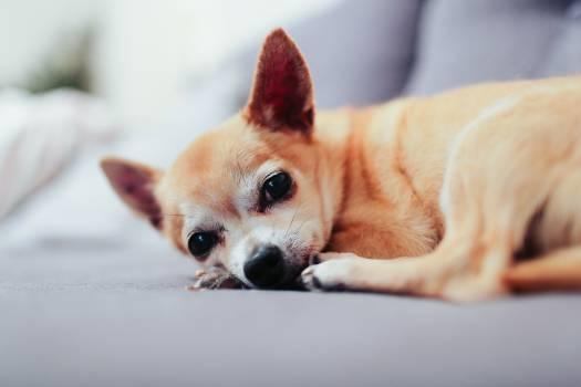 Chihuahua Toy dog Dog #377136