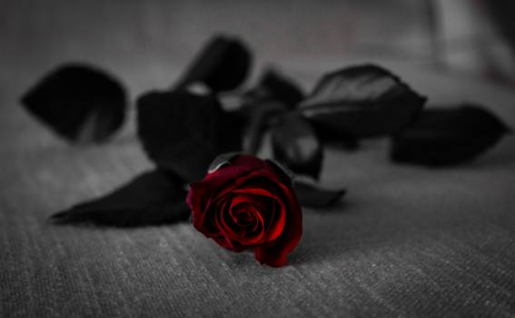 Red Rose With Black Leaves on Grey Textile Free Photo
