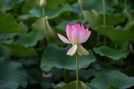 Aquatic Lotus Flower #378518