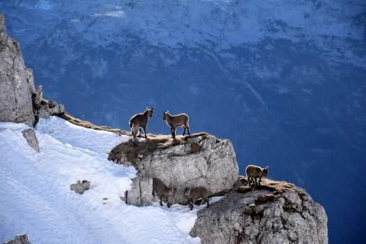 Bighorn Ibex Mountain sheep #378828