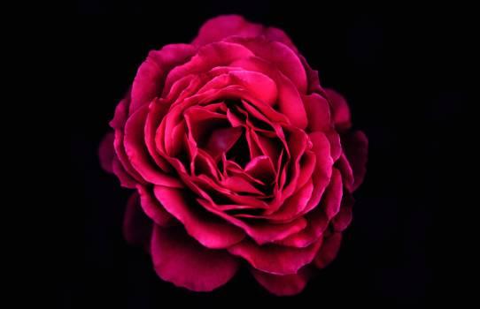 Rose Pink Petal Free Photo