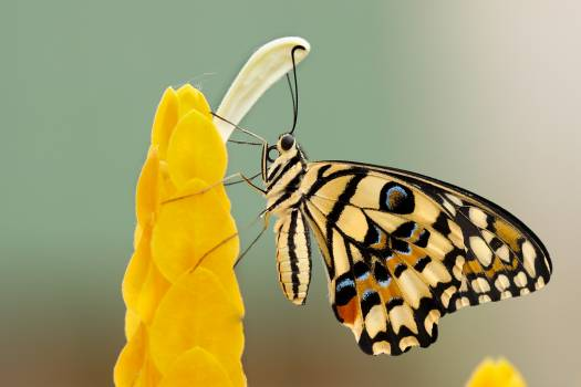 Insect Cassia Butterfly Free Photo