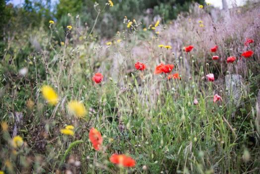 Poppy Flower Angiosperm #379678