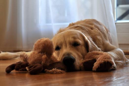 Brown Long Coated Dog Lying in Front of White Curtain #37984
