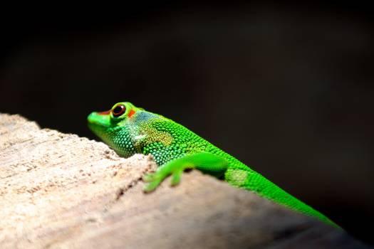 Lizard Eye Chameleon #379901