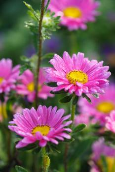 Flower Aster Daisy #379985