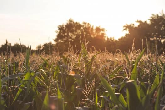 Sugar Field Corn Free Photo