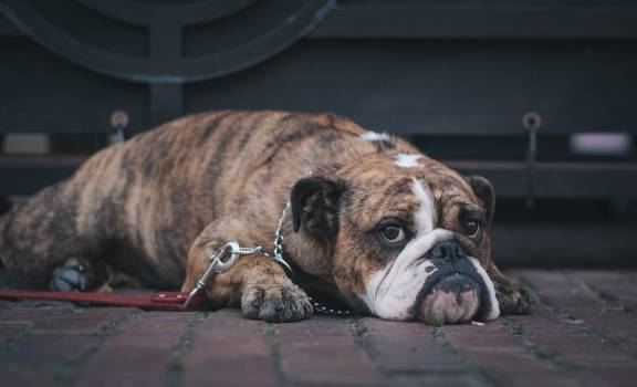 Boxer Dog Canine #380057