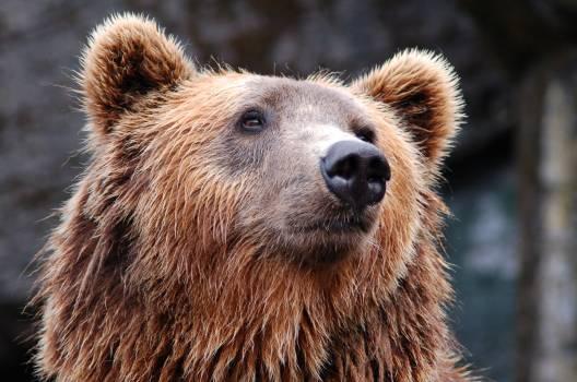 Zoo bear #38013