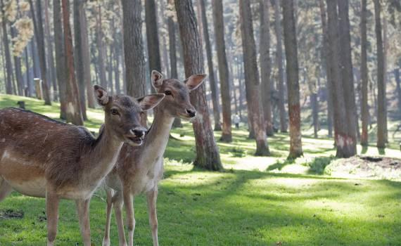 Buck Mammal Placental #380189