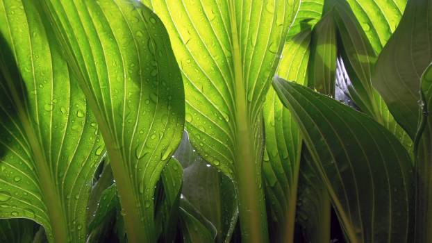 Taro Root vegetable Plant #380276