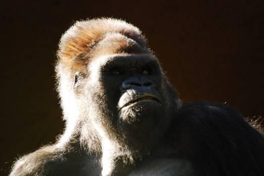 Gorilla Ape Primate #380440