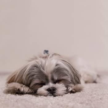 Toy dog Dog Canine #380553
