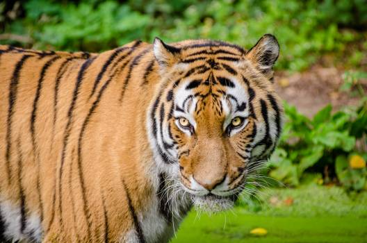 Tiger on Green Lawn Grass Free Photo