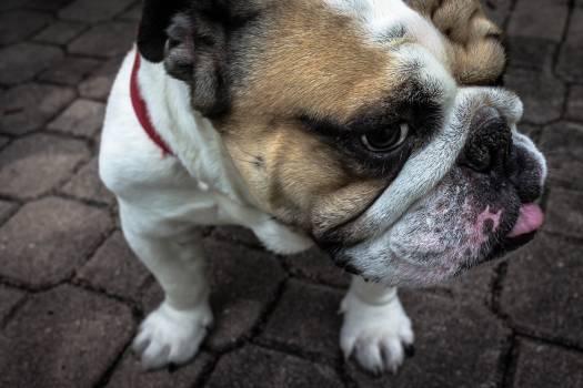 Bulldog Dog Canine #380722