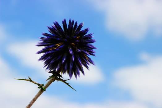 Globe thistle Vascular plant Herb #381171