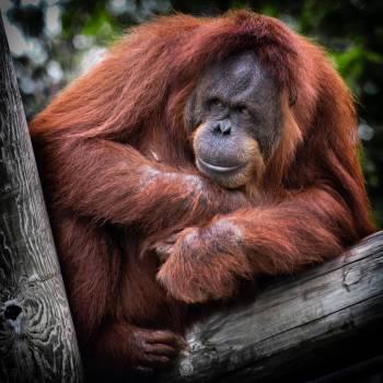 Orangutan Ape Primate #381344