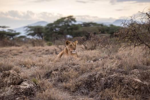 Lion Feline Predator #381448