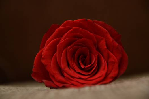 Red Rose #38148