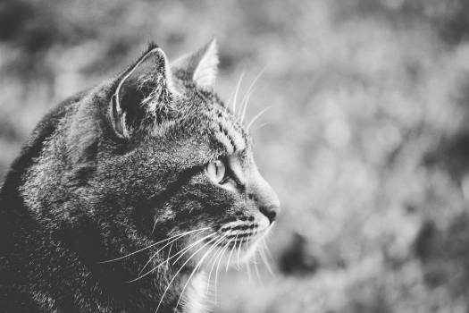 Greyscale Photo of Cat #38172