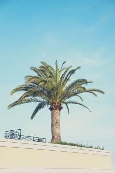 Coconut Palm Tree Free Photo