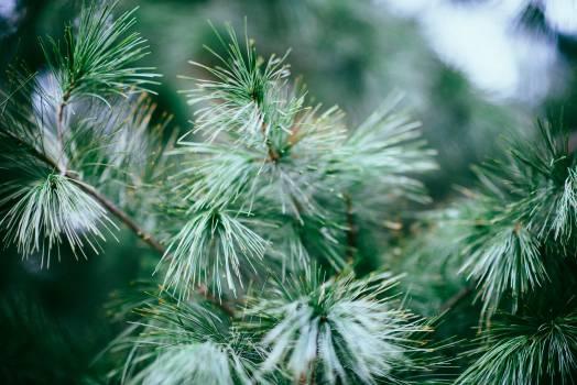 Tree Pine Woody plant Free Photo