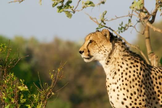 Cheetah Big cat Feline #382008