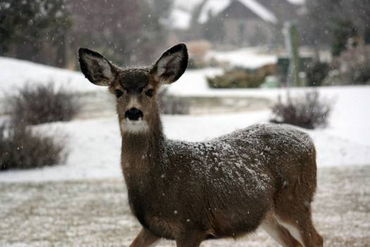Brown Deer on Snow Covered Round With House and Trees in Background during Daytime #38236
