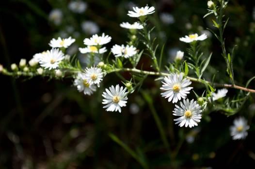 Flower Herb Daisy #382418