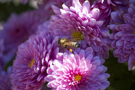 Flower Pink Petal #383233