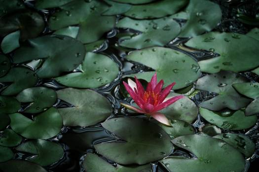 Photo of Water Lily #38336