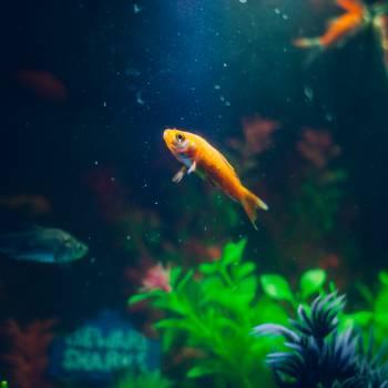 Gold Fish #38337