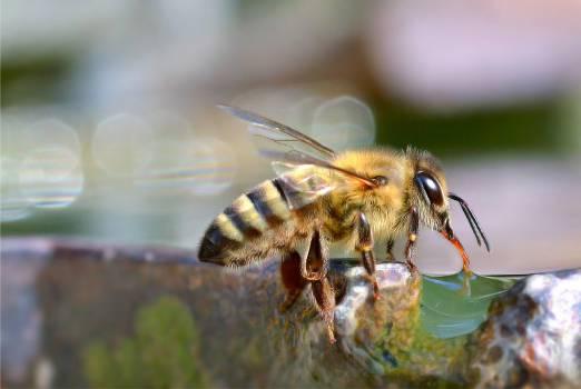 Bee Insect Arthropod #383413