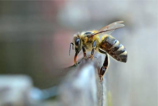 Insect Arthropod Bee #383456