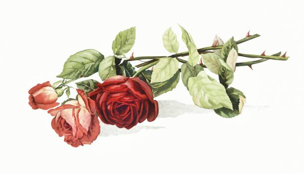 Roses from The Miriam and Ira D. Wallach Division Of Art, Prints and Photographs: Picture Collection published by L. Prang & Co. Original From The New York Public Library.  #383784