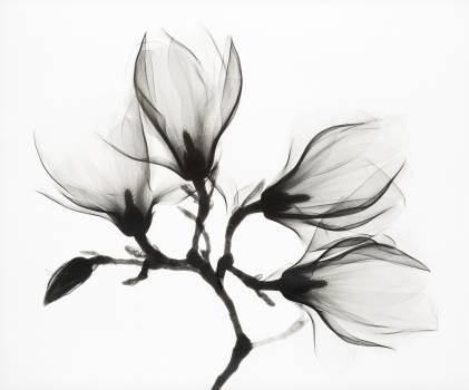 Magnolia Branch with Four Flowers (1910–1925) by anonymous. Original from The Rijksmuseum.  Free Photo
