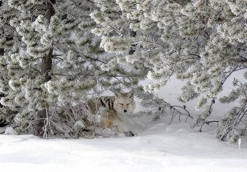 A coyote blends into its surroundings in mid-winter in Yellowstone National Park in northern Wyoming. Original image from Carol M. Highsmith's America, Library of Congress collection.  #384028