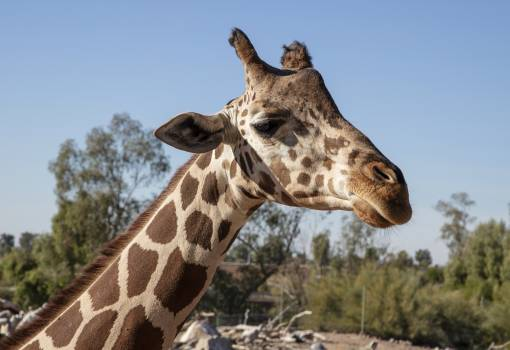 Giraffe at the Phoenix Zoo in Phoenix, Arizona. Opened in 1962, it is the largest privately owned, nonprofit zoo in the United States. The zoo was founded by Robert Maytag, a member of the family that owned a famous appliance company. It displays more tha #384087