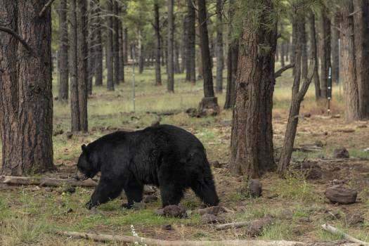Black bear on the move at Bearizona, a drive-through wildlife park featuring a variety of North American animals outside the small northern Arizona city of Williams. The name is a combination of the names of the surrounding state and the park's best #384094