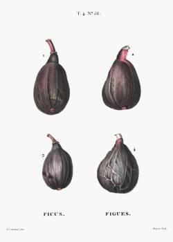 Figs (Ficus) from Traité des Arbres et Arbustes que l'on cultive en France en pleine terre (1801–1819) by Pierre-Joseph Redouté. Original from the New York Public Library.  #384141