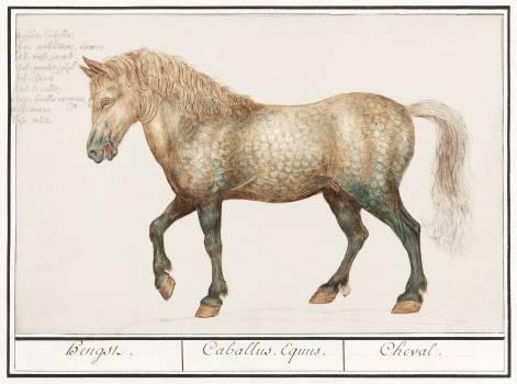 Horse, Equus ferus caballus (1596–1610) by Anselmus Boëtius de Boodt. Original from the Rijksmuseum.  Free Photo
